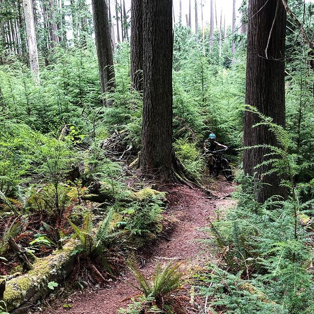 D coming round the bend by a big cedar. Cougar Ridge,  Bellingham WA